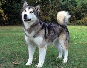 american breeds of dogs alaskan malamute