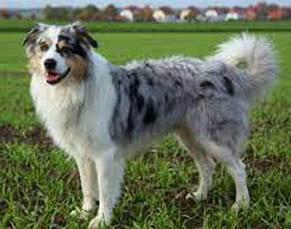 american breeds of dogs Australian shepherd dog