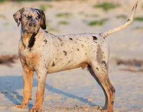 american breeds of dogs Catahoula leopard dog