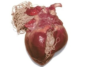 how dogs get heartworms