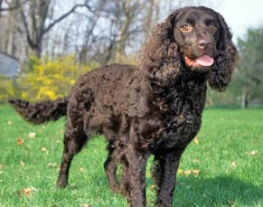 american breeds of dogs