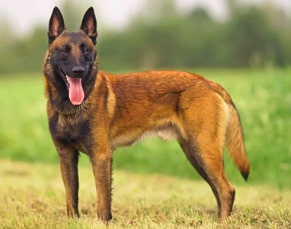 1st breeds of police dogs
