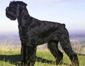 schnauzer breeds of police dogs