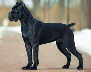 breeds of police dogs cane corso