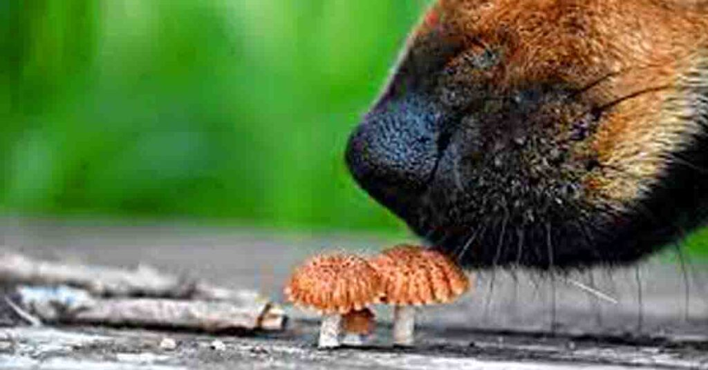 can dogs eat mushroom